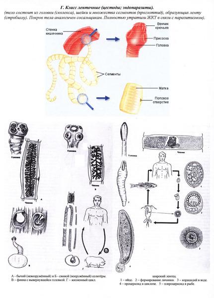 Паразиты имеют следующие приспособления: - упрощение многих систем органов (дегенерация), - сложные жизненные циклы...