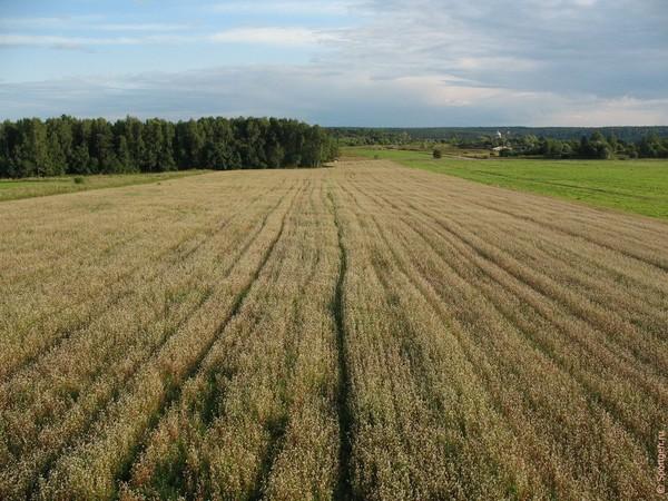 Ответы@Mail.Ru: как растёт рис и гречка Гречка Как Растет