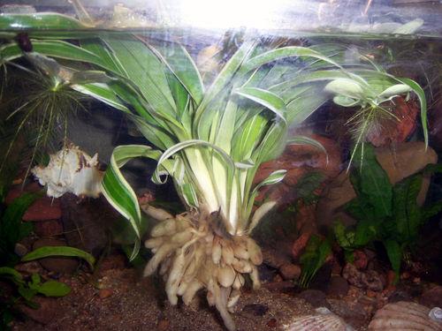Как сажать аквариумные растения без корней 13