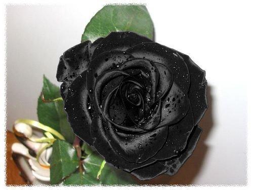 Черной пантере - черную розу.  Наташка.  Пусть Вам дышится легко.