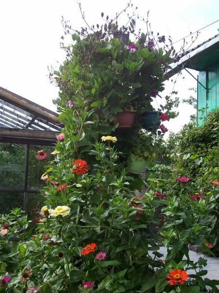 Выращивание кобеи в домашних условиях 997