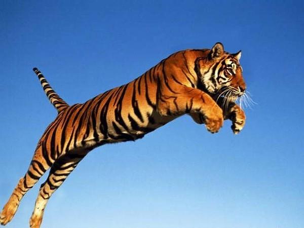 Когда тигр атакует человека куда он