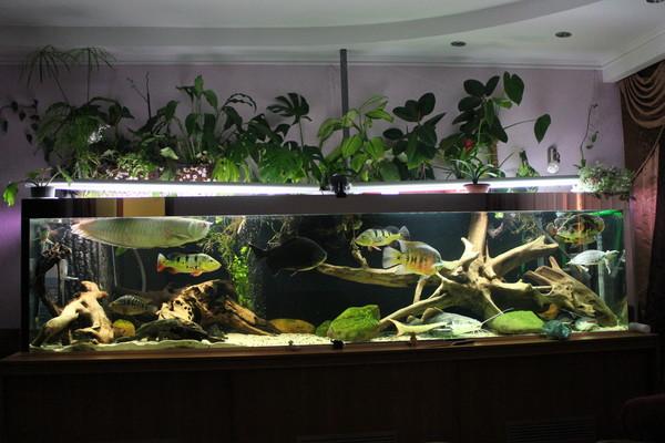 1500l american cichlids tank page 19 for Amazon aquarium fish