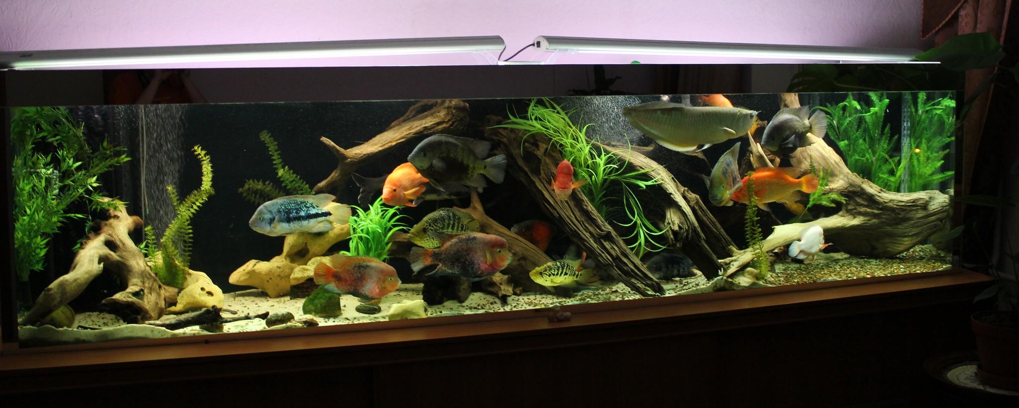 1500l american cichlids tank page 3 for Cichlid fish tank
