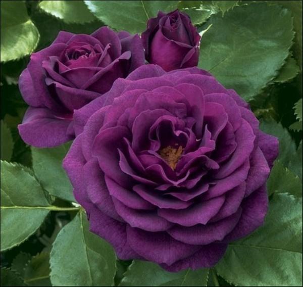 Роза плетистая голубая луна 5