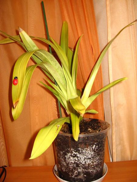 У орхидеи желтеют портятся листья