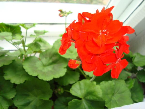 Что нужно сделать, чтоб зацвела герань, цветку 4 года Герань Indoor-Plants-Tips.ru