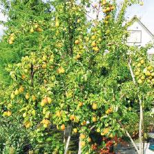 Урожай груши