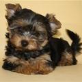 Фотографии Куплю щенка йоркширского терьера 10000р.