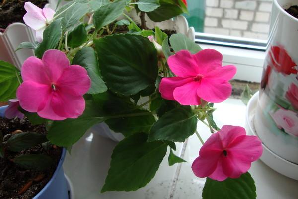 Бальзамин или огонек - любимое домашнее растение 52