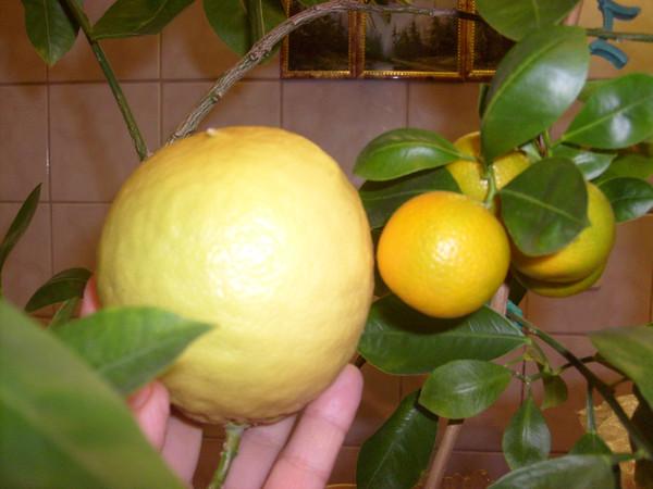 Плодоносящий апельсин в домашних условиях
