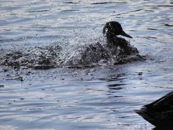 Фотовзгляд на купание уток