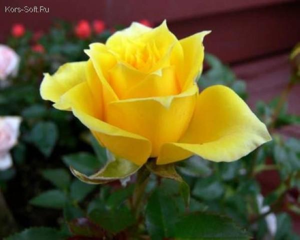 Я послал тебе чёрную розу в бокале
