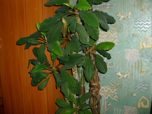Цветок пуансетия как ухаживать размножение пуансетии