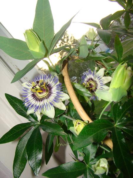 Каталог вьющихся комнатных растений фото