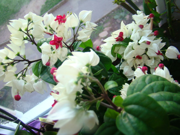 Цветок сердце иисуса