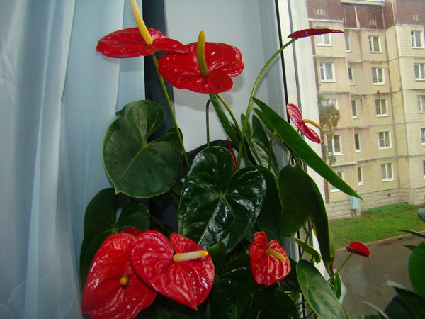 Комнатный цветок женское счастья