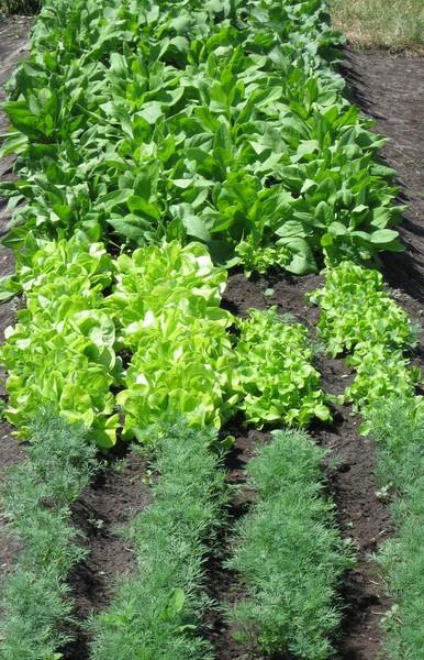 Кто уплотняет посадки разными овощами.  Надоели монопосадки -думаю гряд меньше ,но насадить туда разных овощей и...