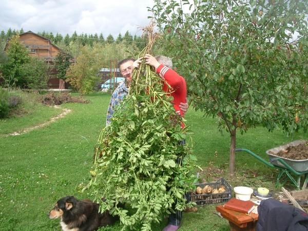 Урожай картошки на малом участке. Хитрости и приемы!