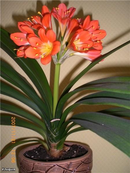 Цветок валлота фото