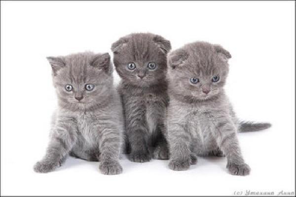 Да, это крупная приземистая кошка с широкой грудной клеткой и отлично...  Порода Британец Вислоухий.