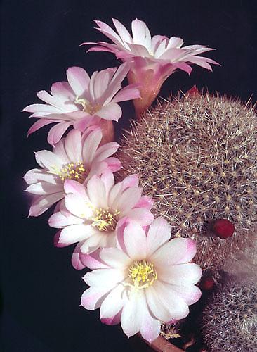 """Схема вышивки  """"Цветущий кактус """": схема."""