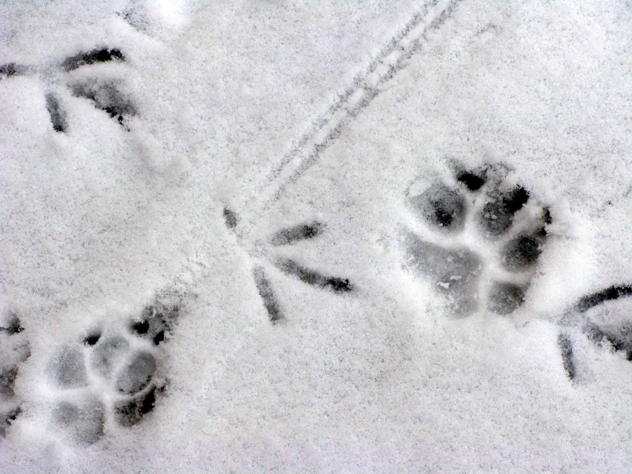 Фото следы птиц на снегу 3