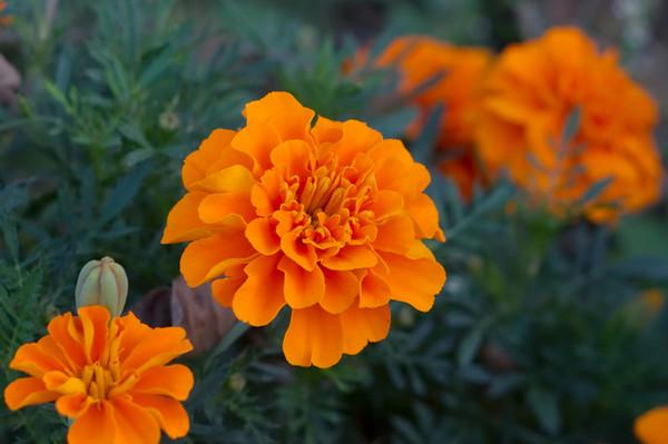 Низкорослые цветы для клумбы цветущие все лето  перечень
