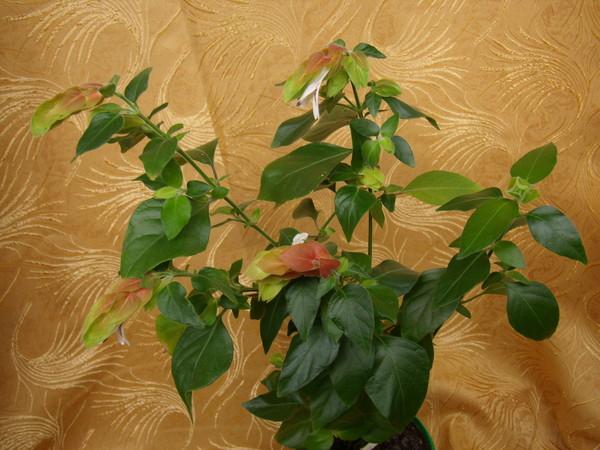 Белопероне - креветочное дерево. I-405