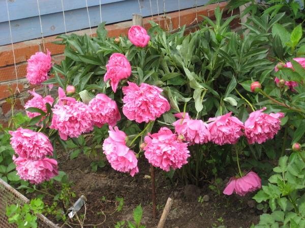 Цветы можно посадить растущие в тени