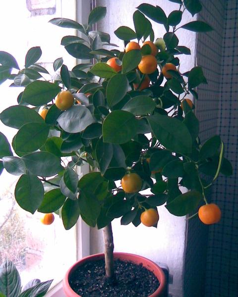 Мандариновое дерево выращивание в домашних условиях