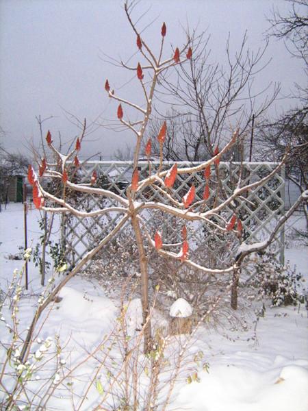 Определен: сумах или уксусное дерево