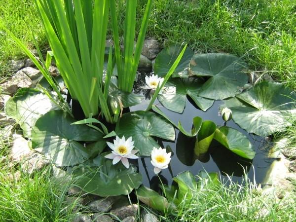Как высаживают лилии в пруду?