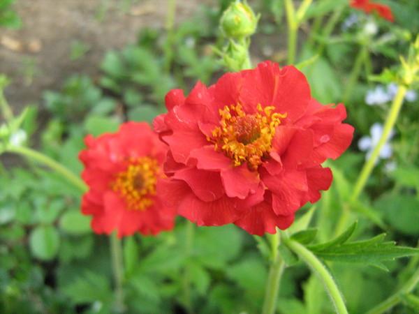 Продам семена садовых цветов. Многолетники и не только...