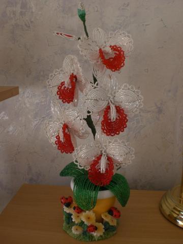 орхидея энгельс.  Комнатные цветы.