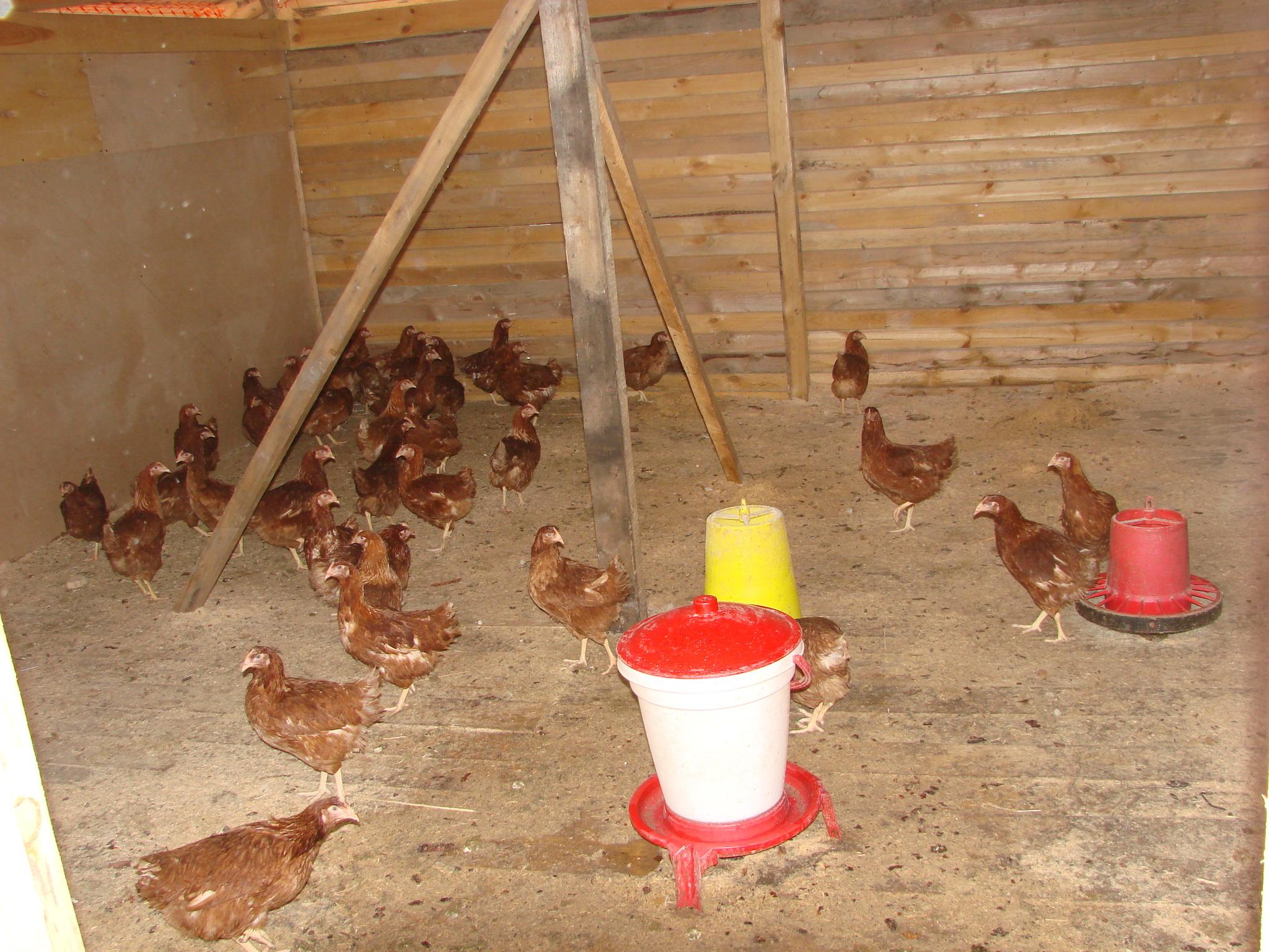Как выращивать кур-несушек 93