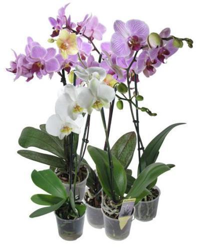 Можно ли спасти засохшую орхидею