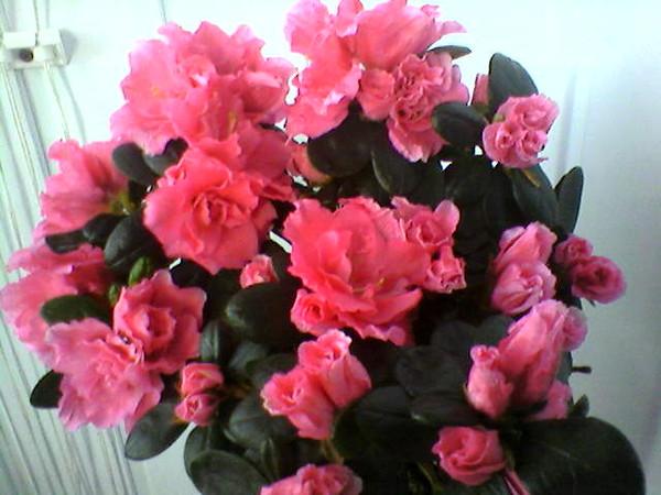 Пропадает цветок азалия! Азалия Indoor-Plants-Tips.ru
