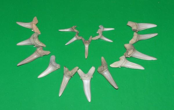 зубы древней акулы