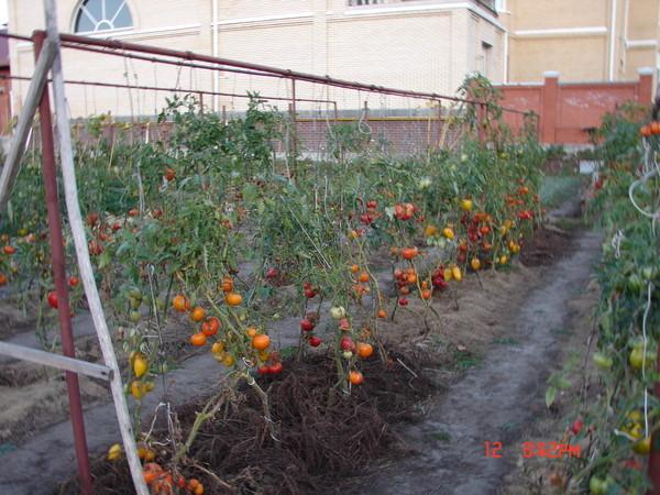 как выращивать помидоры, уход за помидорами, подкормка помидоров