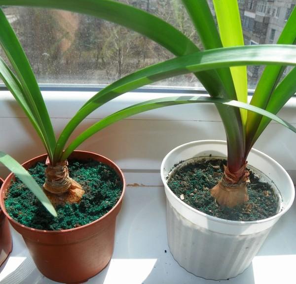 Выращивание кливии в домашних условиях 454