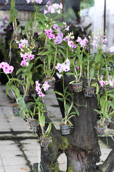 орхидеи в паттае