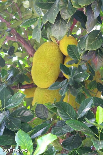 джет фрукт