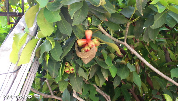 райски яблоки