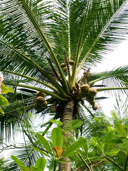 как растёт кокос