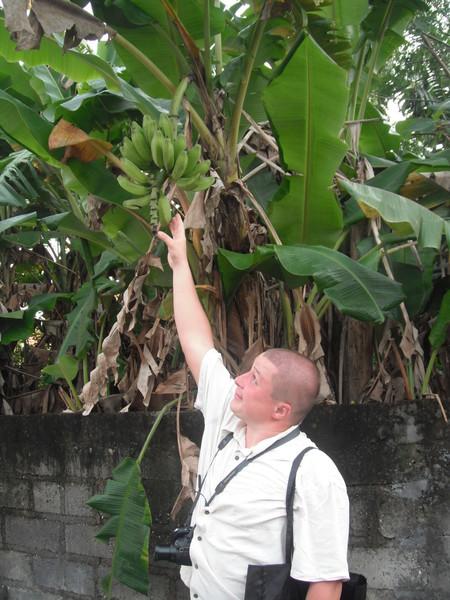 растёт банан