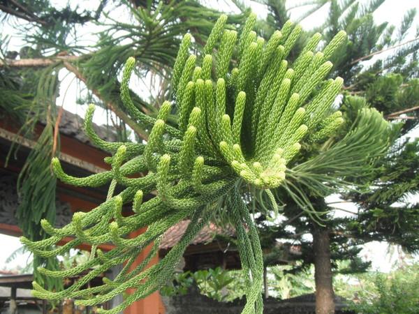 елки в азии