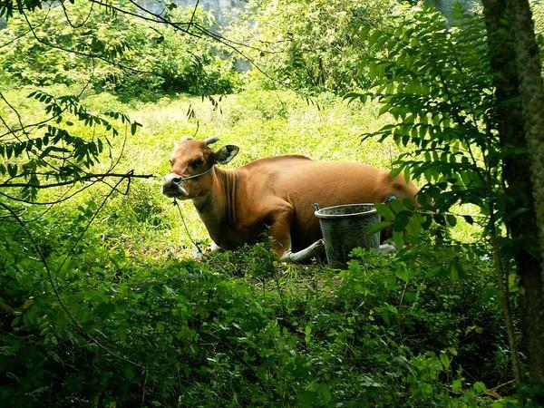коровы бали