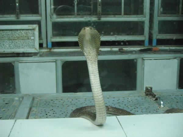 кобра на бали