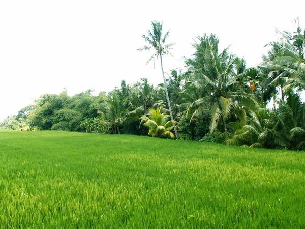 Убуд рисовые поля